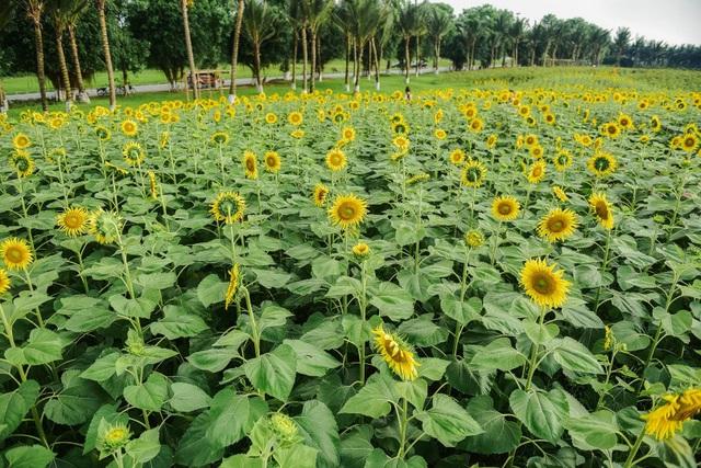 """""""Phát sốt"""" với cánh đồng hoa hướng dương đẹp ngất ngây ngay gần Hà Nội - 16"""