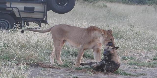 Chó hoang nằm giả chết nhằm thoát nanh vuốt sư tử - 1