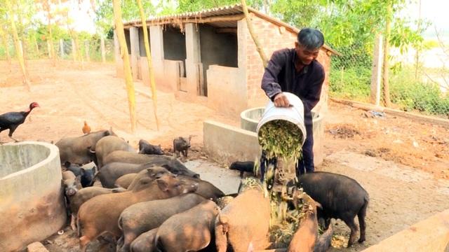 Phú Yên: Nông dân nuôi heo rừng lai kiếm hàng trăm triệu đồng mỗi năm - 1