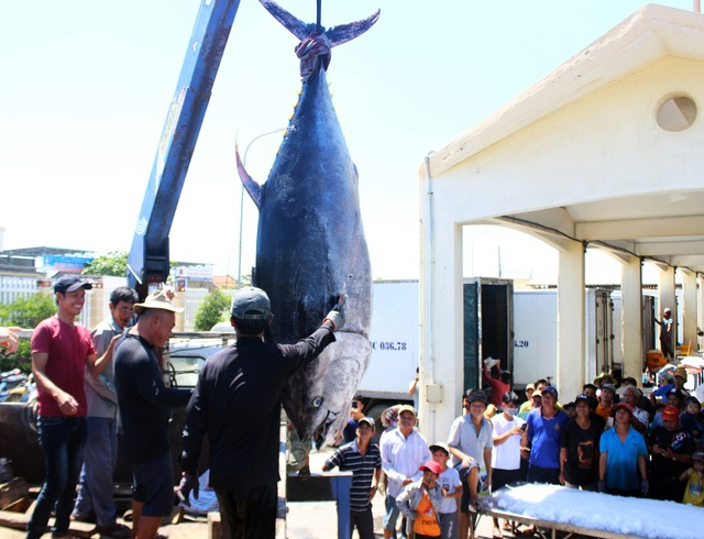 """2 con cá ngừ """"siêu khủng"""" nặng gần 600kg được bán với giá """"rẻ bèo"""" - 1"""