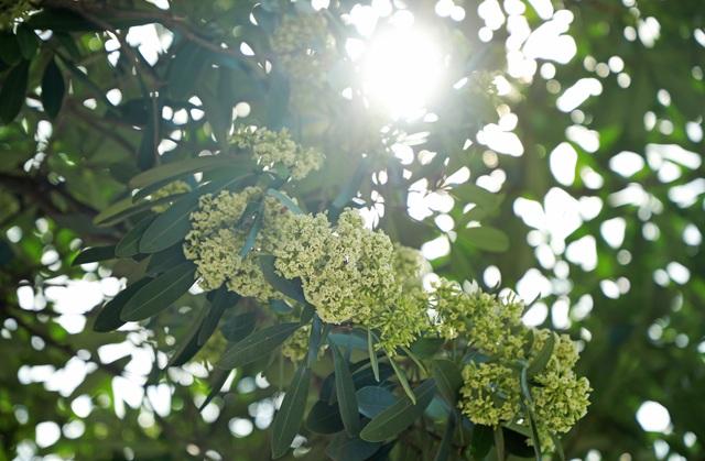 Hương hoa sữa nồng nàn giữa mùa hè 40 độ, chuyên gia lý giải nguyên nhân - 6
