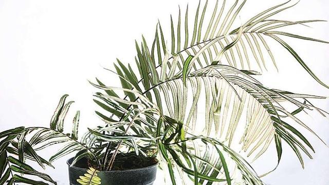 Phát hiện loại cây dương xỉ có khả năng sống trong môi trường ô nhiễm thạch tín - 1