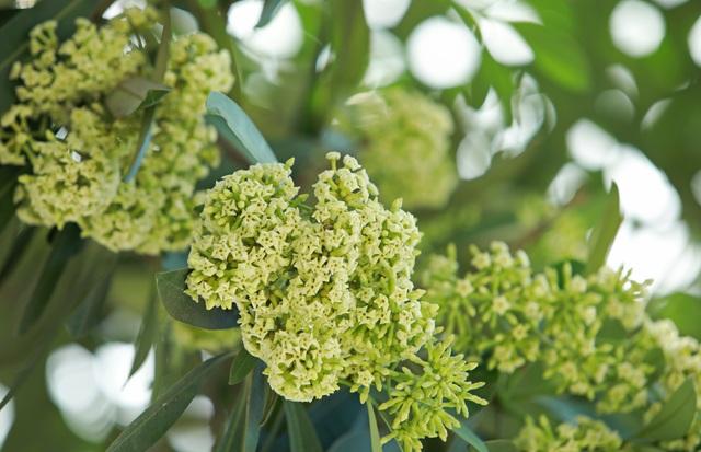Hương hoa sữa nồng nàn giữa mùa hè 40 độ, chuyên gia lý giải nguyên nhân - 7