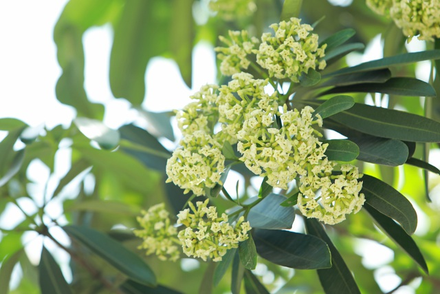 Hương hoa sữa nồng nàn giữa mùa hè 40 độ, chuyên gia lý giải nguyên nhân - 8