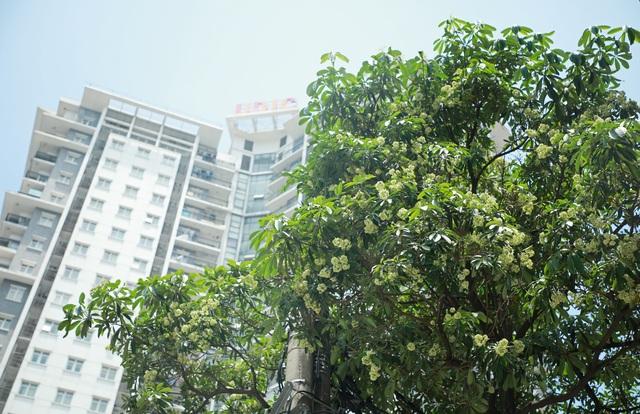 Hương hoa sữa nồng nàn giữa mùa hè 40 độ, chuyên gia lý giải nguyên nhân - 4