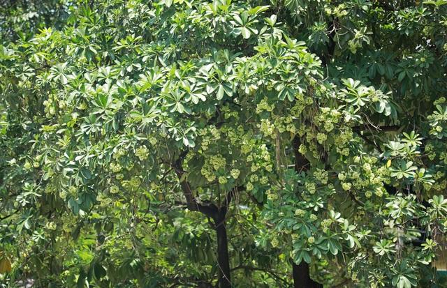 Hương hoa sữa nồng nàn giữa mùa hè 40 độ, chuyên gia lý giải nguyên nhân - 9