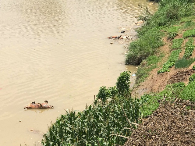 Xử lý nghiêm tình trạng vứt xác lợn chết ra môi trường - 1