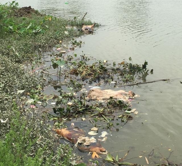 Xử lý nghiêm tình trạng vứt xác lợn chết ra môi trường - 2