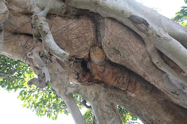 Cây sanh khủng nhất Việt Nam chưa hoàn thiện đã có giá triệu đô - 12