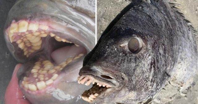 Phát hiện cá có hàm răng giống người xuất hiện bên bờ biển - 2