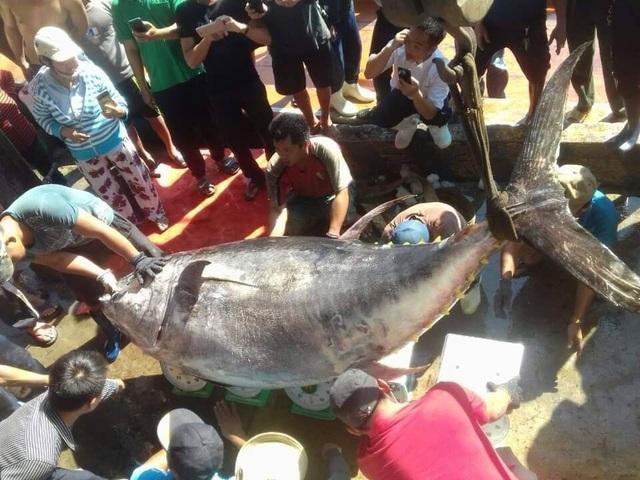 Bắt được cá ngừ đại dương vây vàng nặng gần 400kg ở Trường Sa - 1