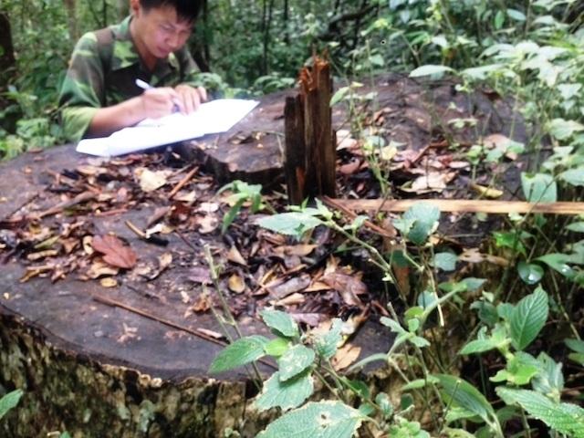 Đi chuyển gỗ tang vật, phát hiện thêm hàng chục khối gỗ quý - 1