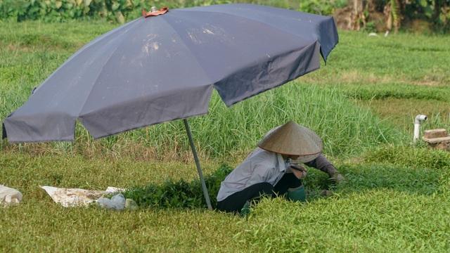 Nông dân vác bảo bối ra đồng để chống chọi nắng nóng 40 độ C - 9