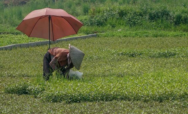 Nông dân vác bảo bối ra đồng để chống chọi nắng nóng 40 độ C - 6