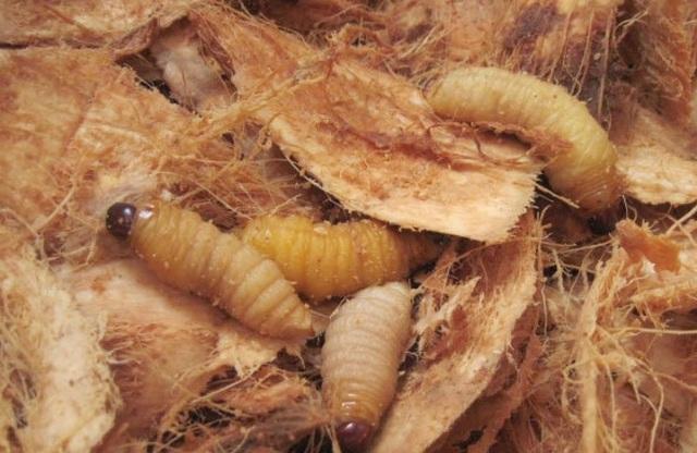 Sởn da gà nếm thử 5 đặc sản từ sâu béo núc ở Việt Nam - 9