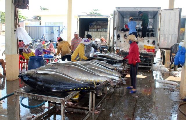 Phú Yên: Ngư dân thu hàng trăm triệu đồng từ cá ngừ đại dương - 5
