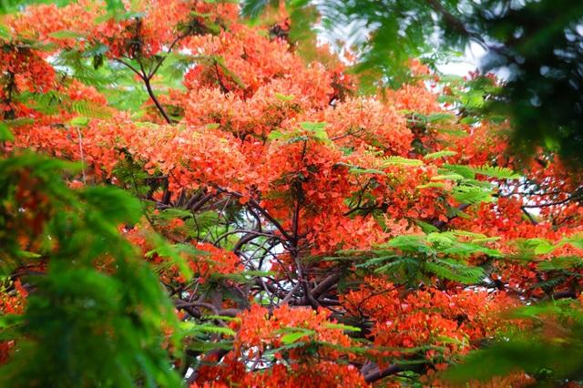 Rạo rực ngắm phố phường Hà Nội mùa phượng vĩ đơm hoa - 1