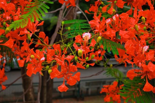 Rạo rực ngắm phố phường Hà Nội mùa phượng vĩ đơm hoa - 10