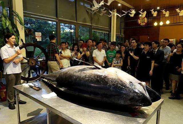 Đầu bếp Hà thành hì hục mổ cá ngừ vây xanh khủng, nặng 200kg - 1