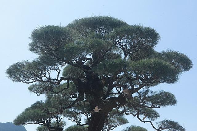 Đại gia Hà Nam chi tiền tỷ để mua phi lao tóc mây hơn 100 năm tuổi - 13