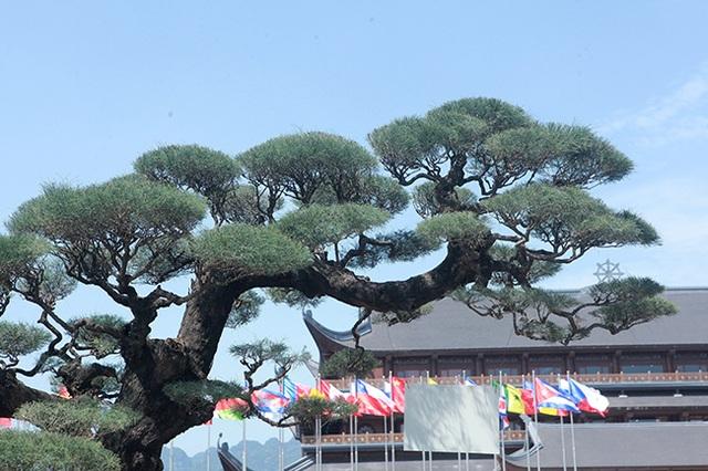 Đại gia Hà Nam chi tiền tỷ để mua phi lao tóc mây hơn 100 năm tuổi - 4
