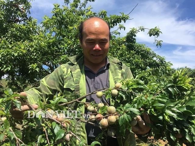 Được cả mùa lẫn giá, người trồng mận Mộc Châu đếm tiền mỏi tay - 2