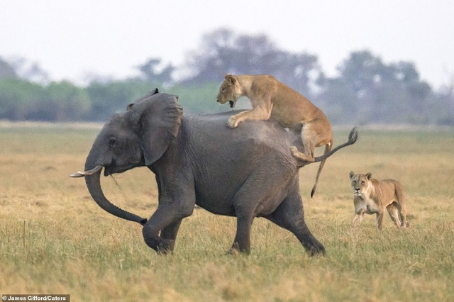 """Định """"bắt nạt"""" voi con, bầy sư tử chịu thua cuộc trước đàn voi trưởng thành - 1"""