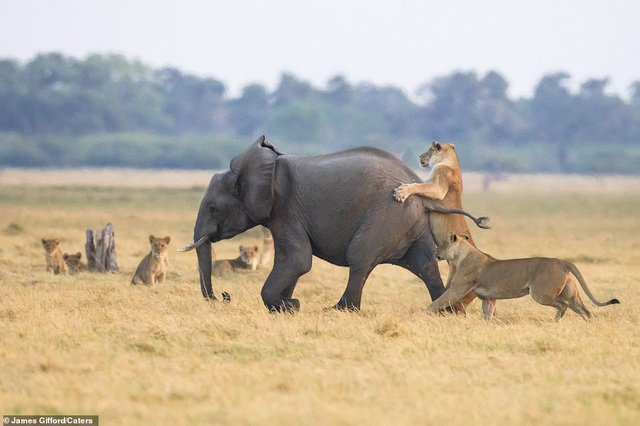 """Định """"bắt nạt"""" voi con, bầy sư tử chịu thua cuộc trước đàn voi trưởng thành - 3"""