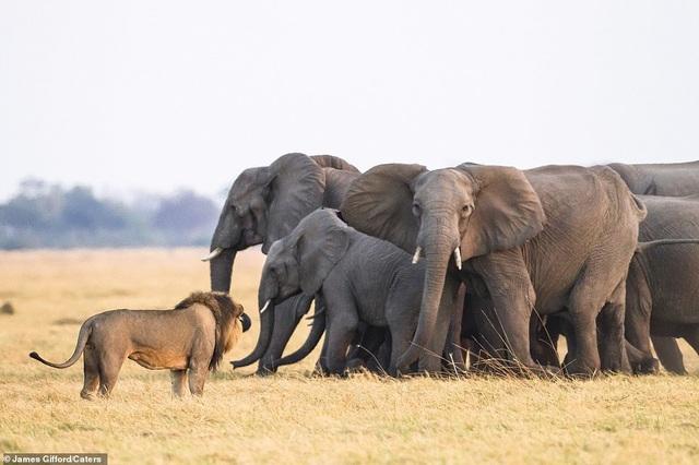 """Định """"bắt nạt"""" voi con, bầy sư tử chịu thua cuộc trước đàn voi trưởng thành - 4"""