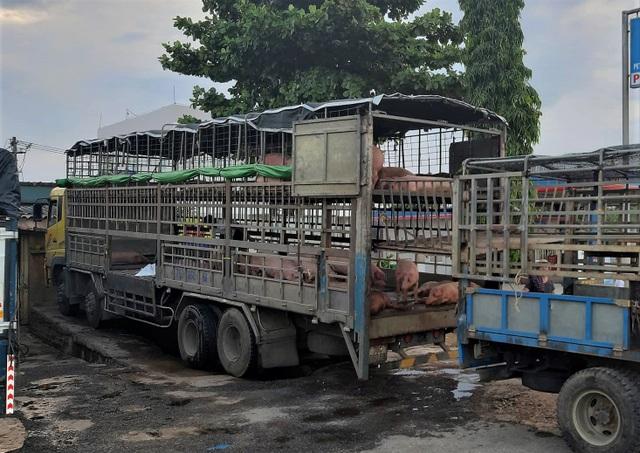 Dịch tả lợn Châu Phi ở Quảng Nam