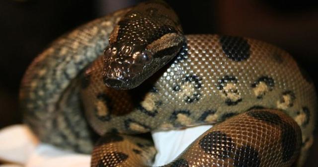 Kì lạ khả năng tự sinh con của trăn Anaconda cái không cần trăn đực - 1