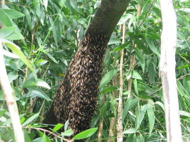 Gác kèo ong và Muối ba khía được đề xuất là di sản văn hóa phi vật thể Quốc gia - 1