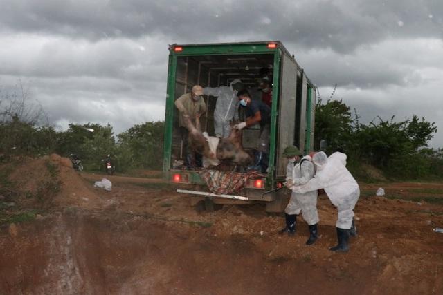 Dịch tả lợn Châu Phi tiếp tục tấn công Đắk Lắk và Cà Mau - 2