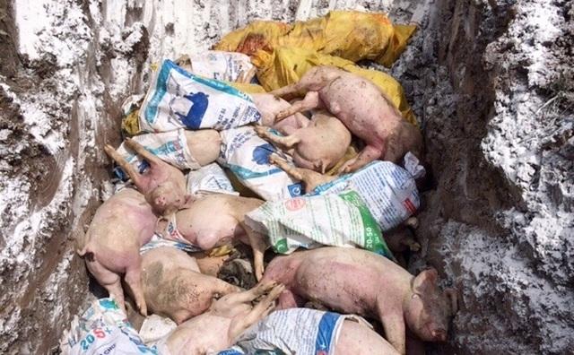 Dịch tả lợn Châu Phi tiếp tục tấn công Đắk Lắk và Cà Mau - 3