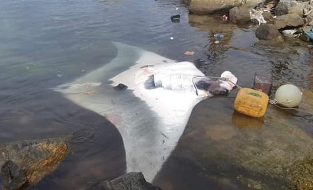Ngư dân Lý Sơn bắt được cá đuối nặng 600 kg - 1