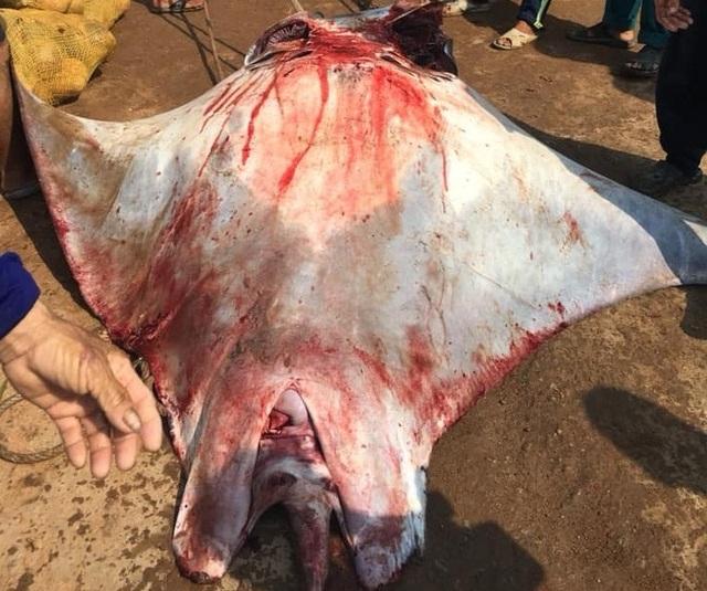 Ngư dân Lý Sơn bắt được cá đuối nặng 600 kg - 2