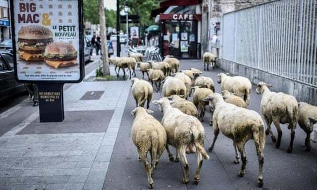Pháp: Thiếu học sinh, trường học vùng núi tuyển sinh cả… cừu - 1