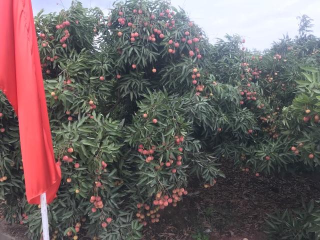 Xuất khẩu vải thiều: Trung Quốc làm khó, nông dân có định thôi? - 3