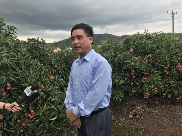 Xuất khẩu vải thiều: Trung Quốc làm khó, nông dân có định thôi? - 5