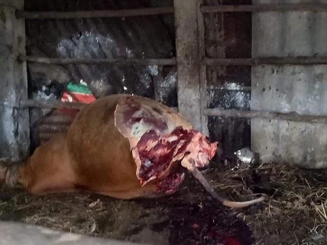 Hy hữu bò nhốt trong chuồng bị cắt trộm 2 đùi sau - 2