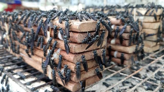 Kỹ sư bỏ việc về quê nuôi ruồi, thu nhập hàng chục triệu đồng mỗi tháng - 3