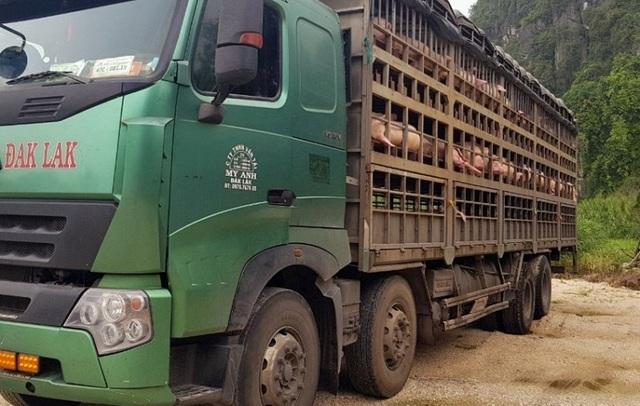 Hàng trăm con lợn có dấu hiệu lâm sàng của dịch tả lợn châu Phi được chở đi tiêu thụ - 1