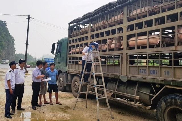 Hàng trăm con lợn có dấu hiệu lâm sàng của dịch tả lợn châu Phi được chở đi tiêu thụ - 3