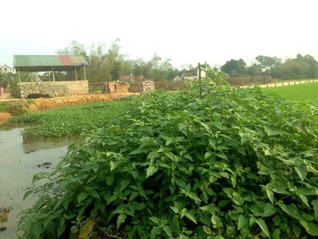 Chuyện lạ Thủ đô, rau dại mọc hoang, dân đem về trồng thay lúa - 2