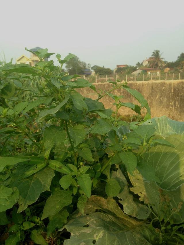 Chuyện lạ Thủ đô, rau dại mọc hoang, dân đem về trồng thay lúa - 3