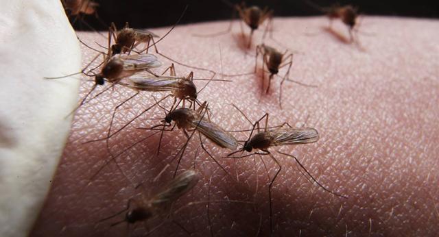 Tạo ra loại nấm biến đổi gen có khả năng tiêu diệt 99% số muỗi gây sốt rét - 1