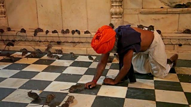 Tới đền thờ hơn 25.000 con chuột được cung phụng như Ông hoàng - 2