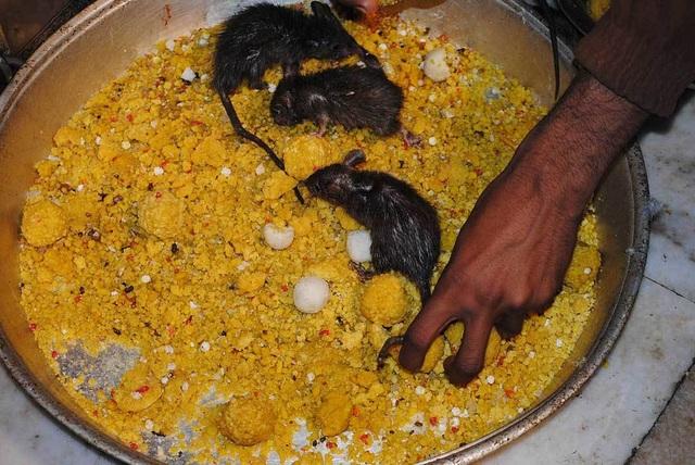 Tới đền thờ hơn 25.000 con chuột được cung phụng như Ông hoàng - 5