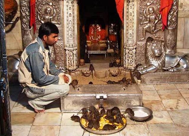 Tới đền thờ hơn 25.000 con chuột được cung phụng như Ông hoàng - 4