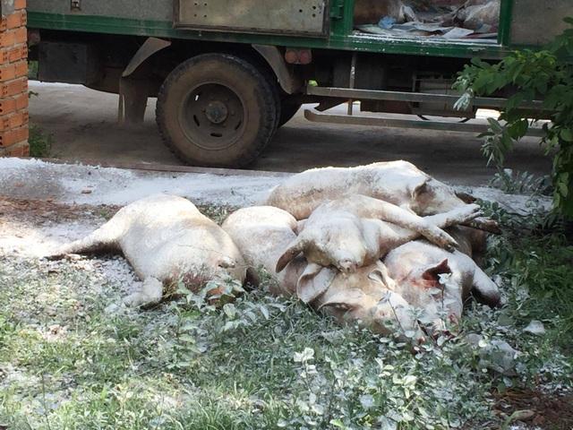 Dân phản ứng khi lợn nhiễm dịch tả châu Phi từ nơi khác mang về thôn tiêu hủy - 1
